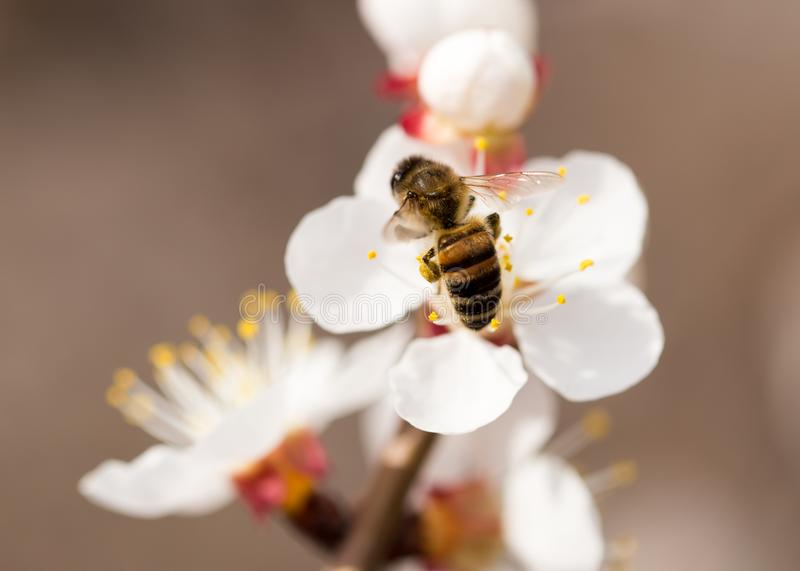 Bee on a flower in the nature. macro.  stock image
