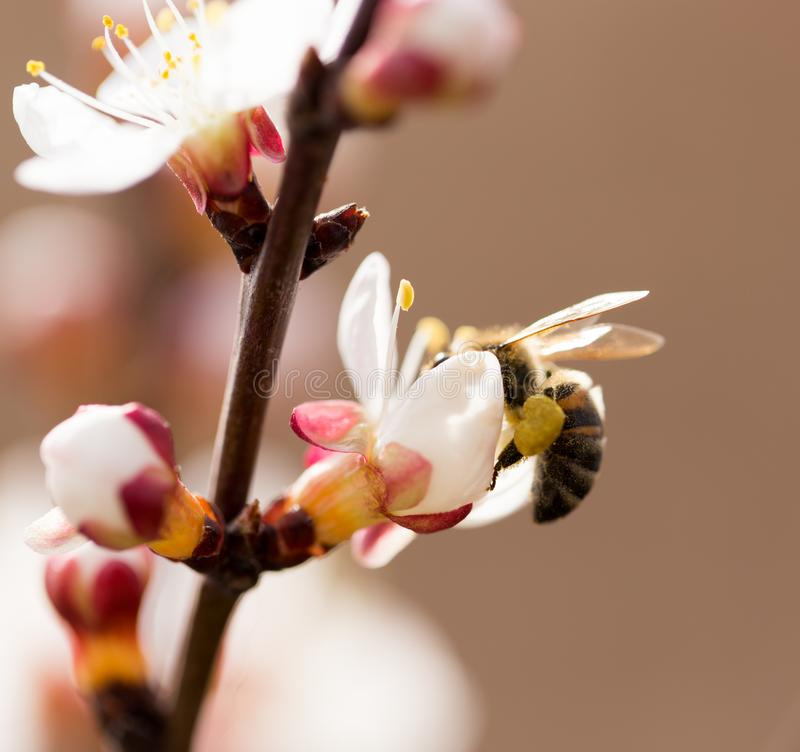 Bee on a flower in the nature. macro.  royalty free stock photography