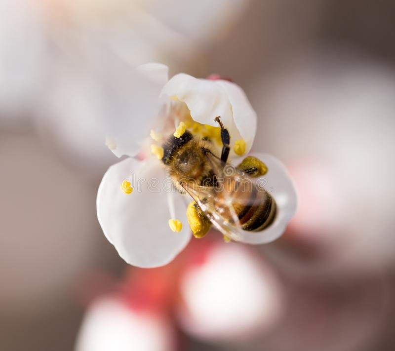 Bee on a flower in the nature. macro.  stock photography