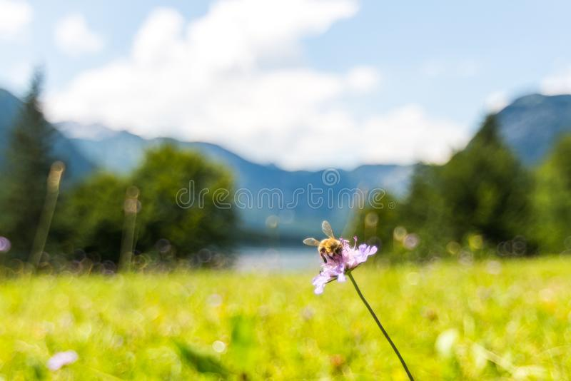 The bee on flower near Bohinj lake. Fresh green meadow, Slovenia alps in background stock images