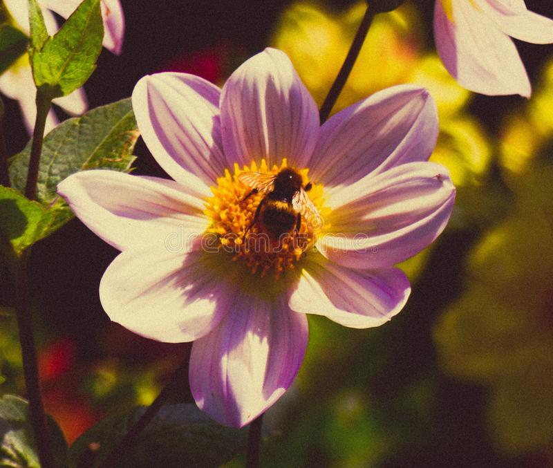 Bee Flower New Zealand Botanical stock photos