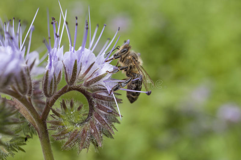 Bee on flower pink phacelia. Collecting pollen and drink nectar. stock photo