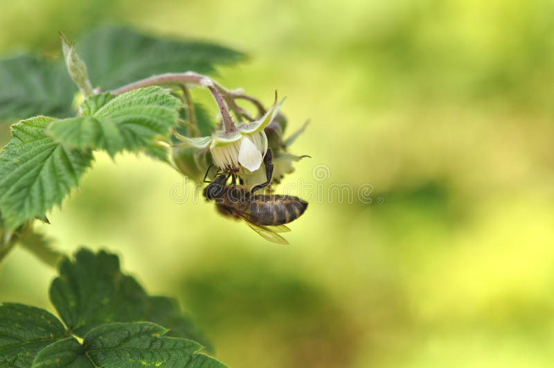 Bee on flower of raspberry. Spring royalty free stock photos