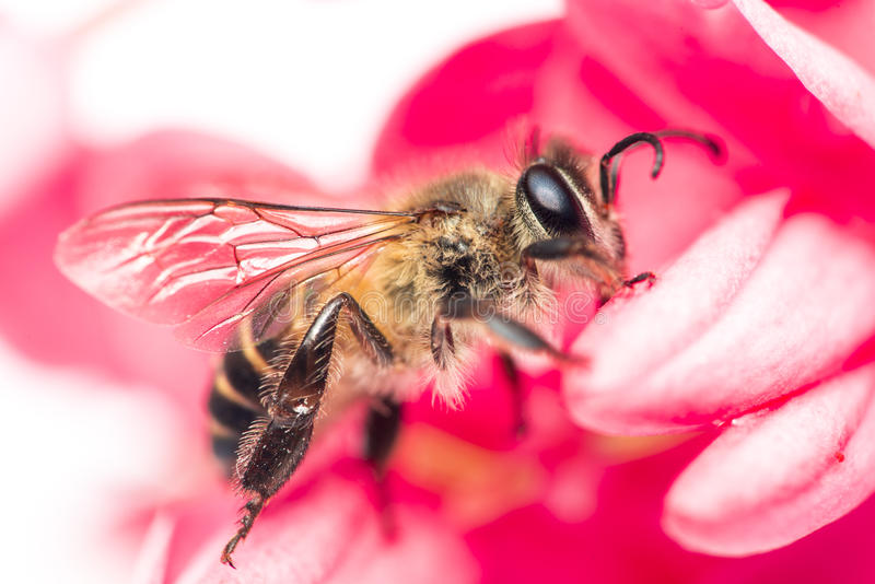 Bee on flower. Bee on red flower background stock image