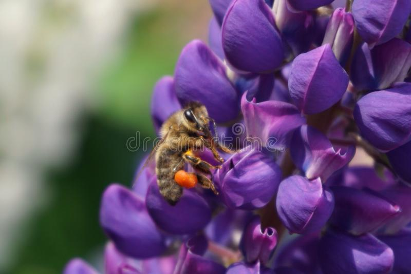 Bee on the purpleflower royalty free stock image