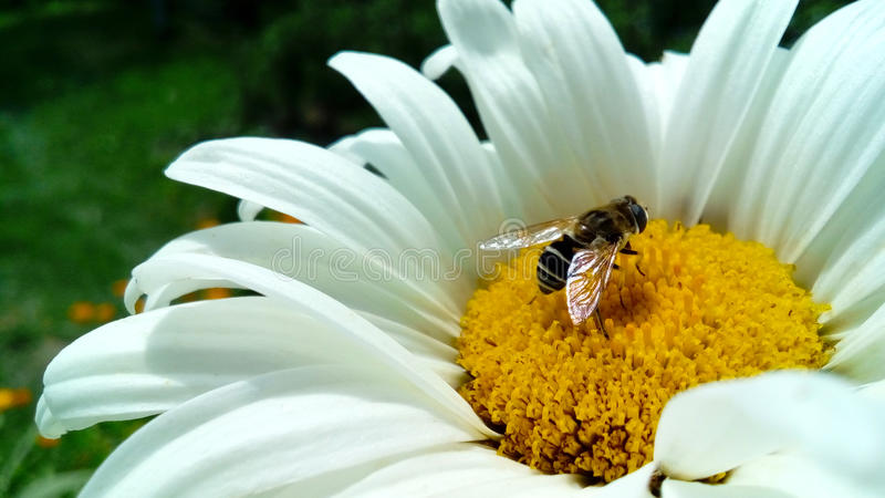bee on a flower stock images