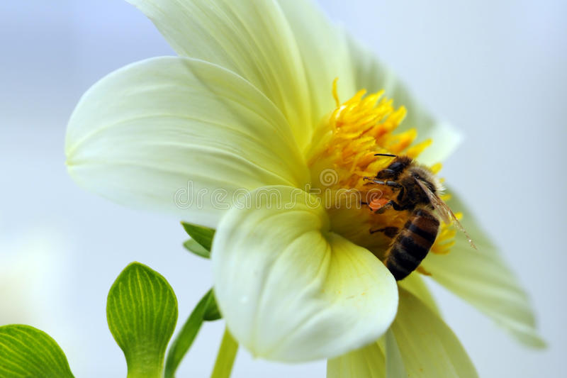 Bee on a flower. Sky, Dahlia, macro royalty free stock photography