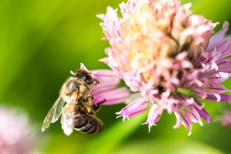 Bee on the flower. Small useful insect is working and making honey. Honeybee with wing on the blossom. Spring at countryside of me royalty free stock image