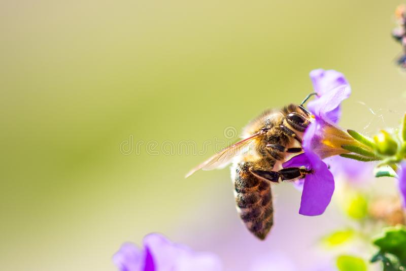 Bee on the flower. Small useful insect is working and making honey. Honeybee with wing on the blossom. Spring at countryside of me stock images