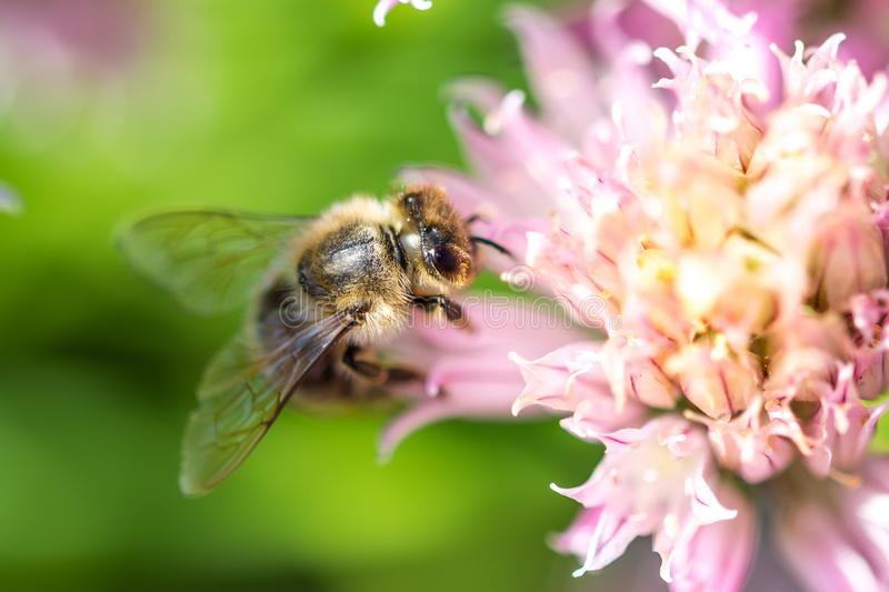 Bee on the flower. Small useful insect is working and making honey. Honeybee with wing on the blossom. Spring at countryside of me royalty free stock images