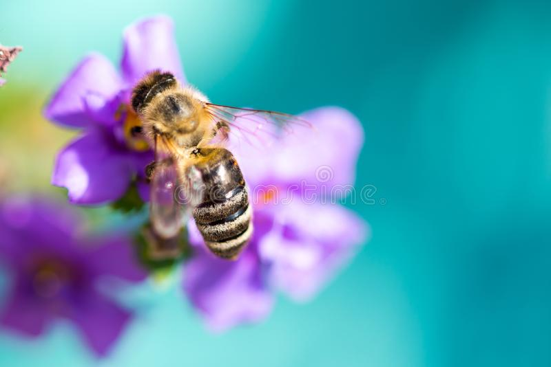 Bee on the flower. Small useful insect is working and making honey. Honeybee with wing on the blossom. Spring at countryside of me. Adow stock images