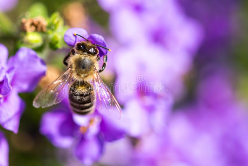 Bee on the flower. Small useful insect is working and making honey. Honeybee with wing on the blossom. Spring at countryside of me stock photos