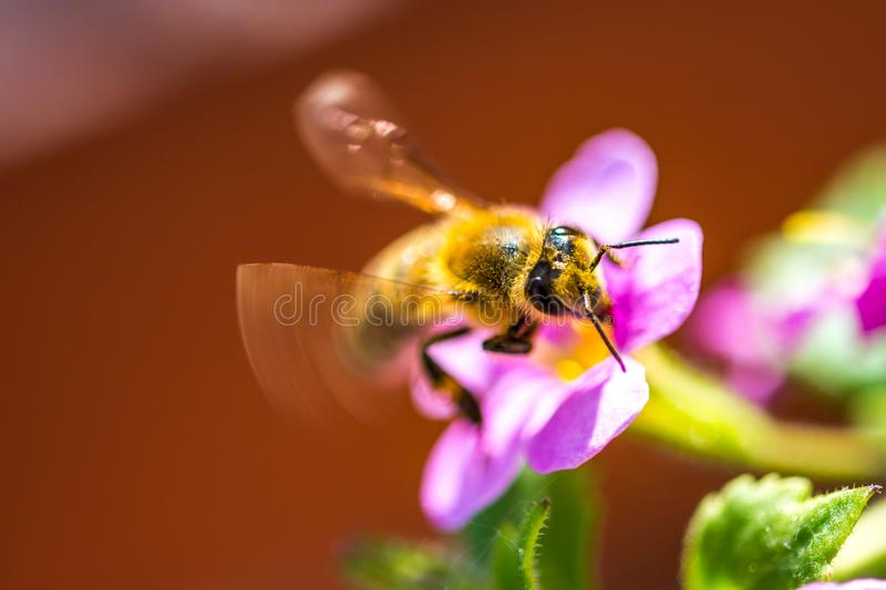 Bee on the flower. Small useful insect is working and making honey. Honeybee with wing on the blossom. Spring at countryside of me stock image