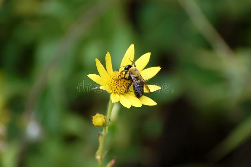 Bee on Flower. A summer pollinator bee gathering nectar or pollen from a yellow flower stock images
