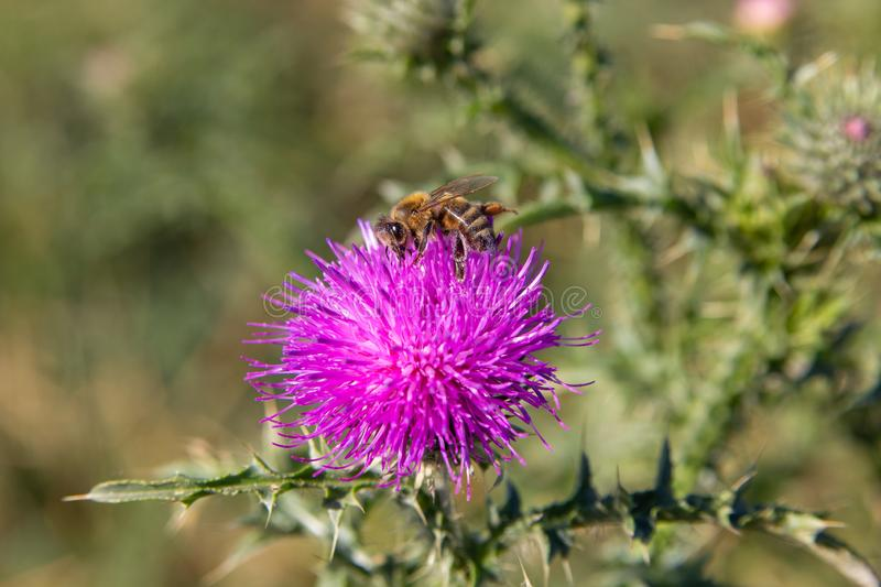 Bee on a flower of a thistle,on a purple flower of a thistle sits a bee royalty free stock image