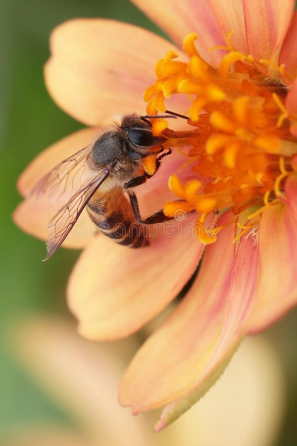 bee&flower stock images