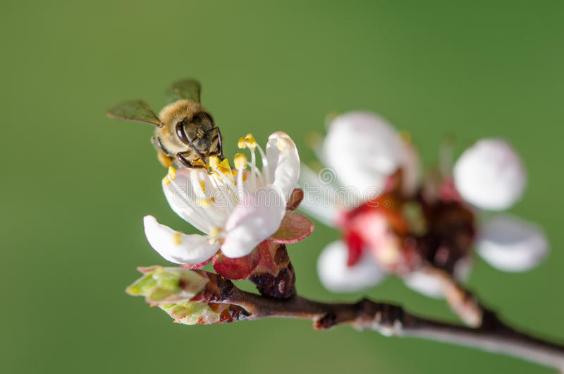 Download Bee On A Flowering Branch Of Apricot Stock Photo - Image of branch, bright: 35060262
