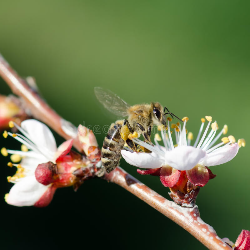 Bee On A Flowering Branch Of Apricot Royalty Free Stock Photos