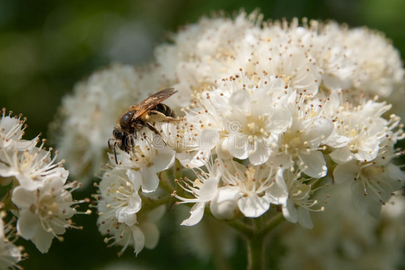 Bee on flowering branches. Of mountain ash stock images