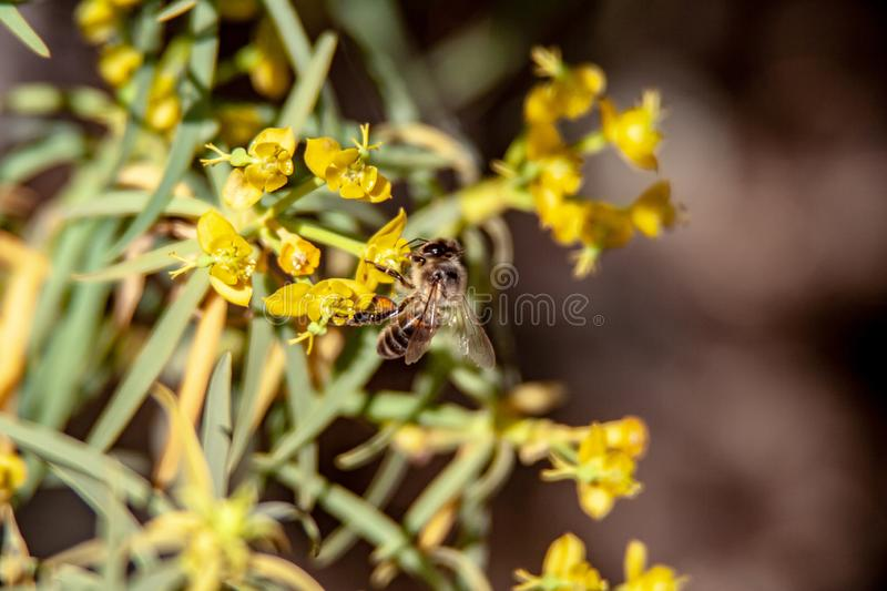Bee on the flowering shrub royalty free stock photography