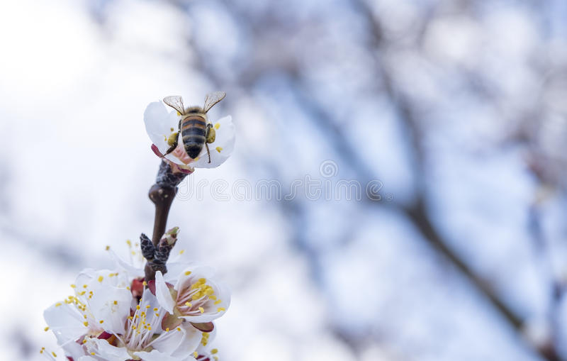 Bee on a flowering tree stock photos