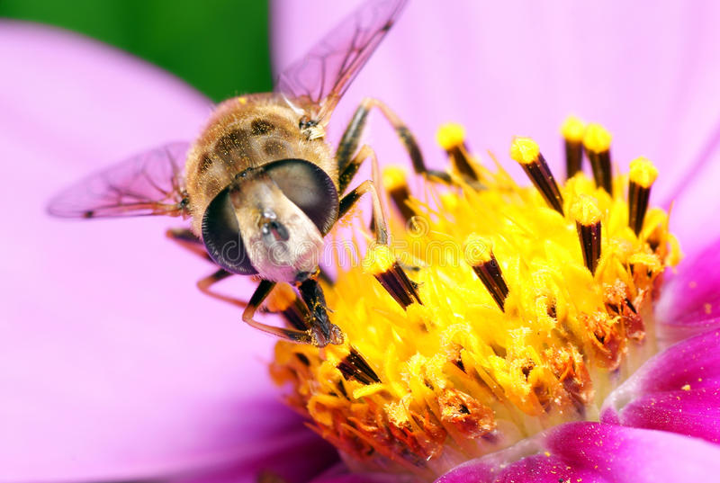 Bee on flowers. Bee pollinating ornamental flowers, close-up royalty free stock photo