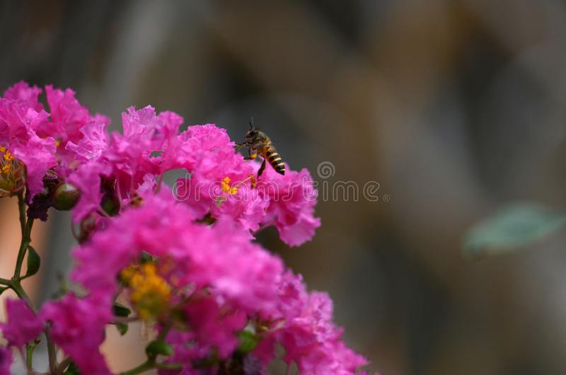 Bee on flowers of Crepe myrtle stock image