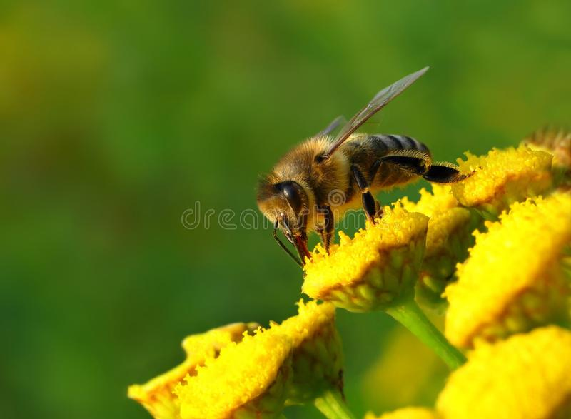 Bee and flowers. A bee pollinates a yellow bee flowers royalty free stock image