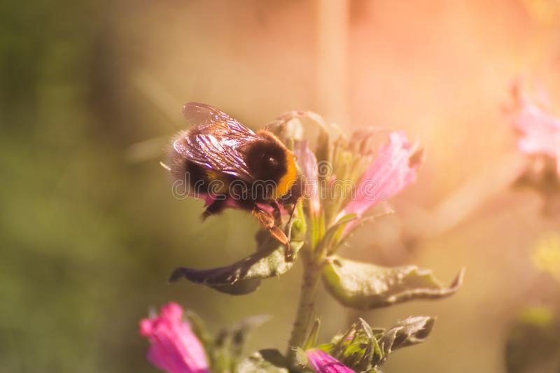 Bee and flowers royalty free stock photography