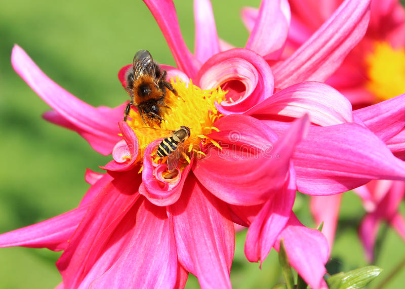 Bee and flowers stock photography