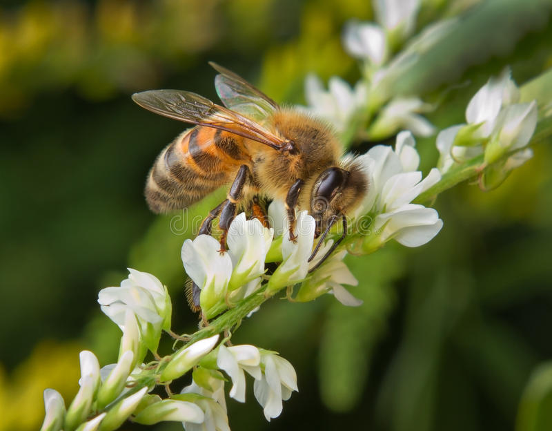 Bee on a flowers royalty free stock photo