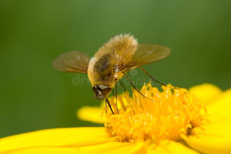 Bee-Fly Stock Photos