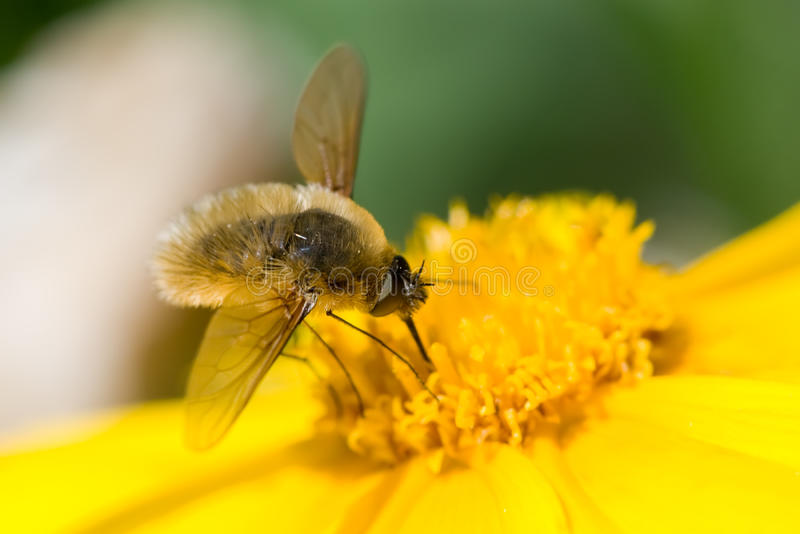 Bee-Fly Stock Images
