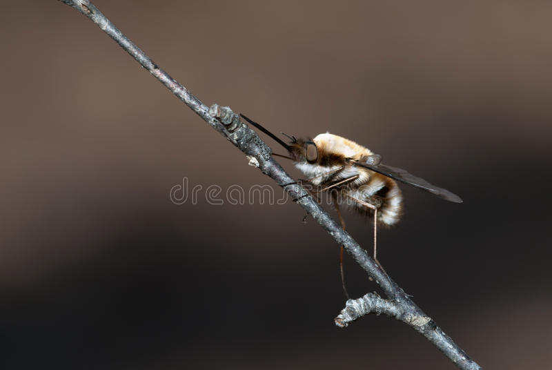 Download Bee-fly stock photo. Image of single, hairy, hair, close - 19636712