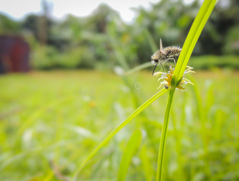 A Bee Fly searching for Nectar on a Flower. stock photos