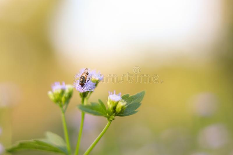 Bee flying around cluster of light purple flowers. Bee flying around cluster of light purple flowers stock images