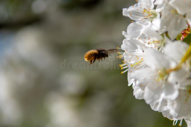 Honey Bee flies on the flower. Honey bee flies to a white flower with blurry green backgorund royalty free stock photos