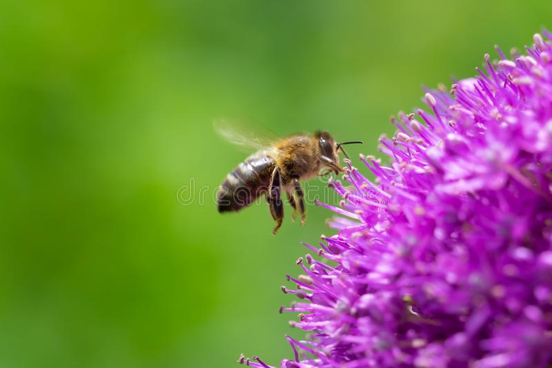 Bee flying gathering pollen or nectar on a purple giant allium stock photography