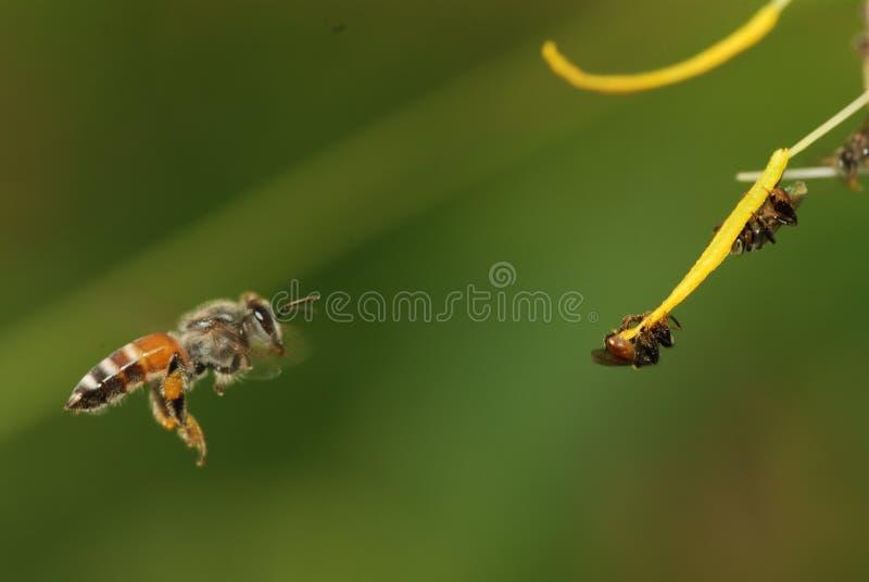 Download Bee stock photo. Image of hairs, spring, garden, macro - 42781632