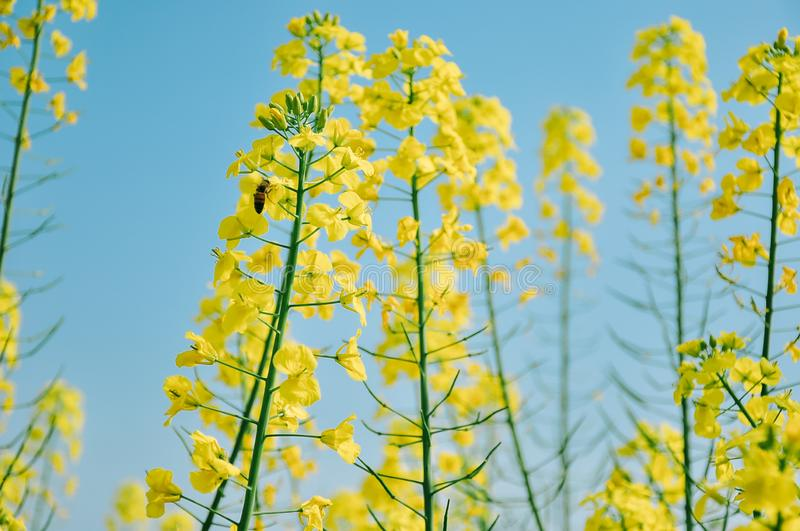 Yellow cole flowers in spring, with a bee royalty free stock image