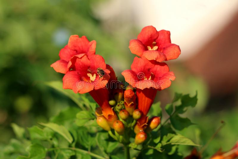 Bee flying over Trumpet vine or Campsis radicans flowering vine plant with closed orange to red flowers emerging from terminal. Bee flying over Trumpet vine or stock photos