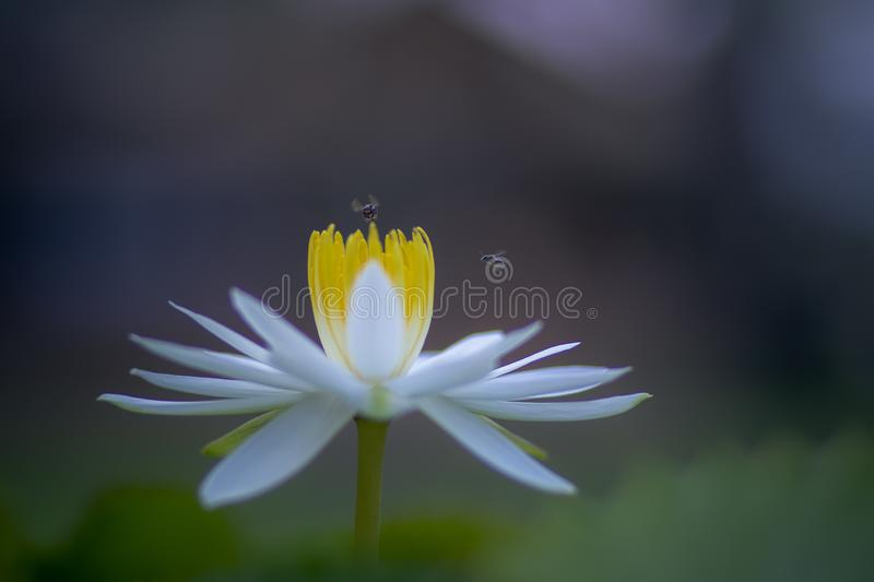 Bee flying over white lilly lotus flower against blur background stock photos