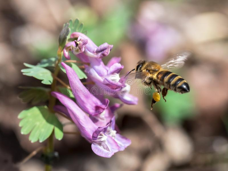 Bee flying to lilac flower. Honey bee flying to the violet blossom of corydalis / fumewort to collect pollen in spring - macro royalty free stock photography