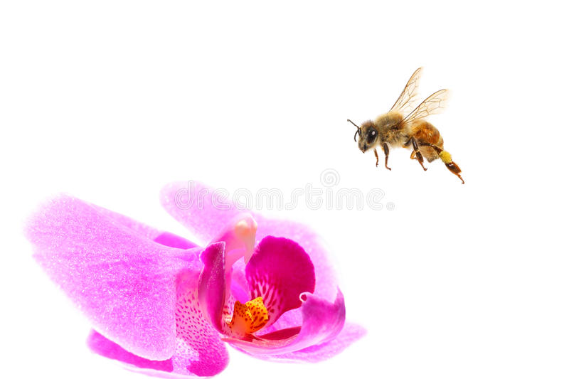 Bee flying royalty free stock photos