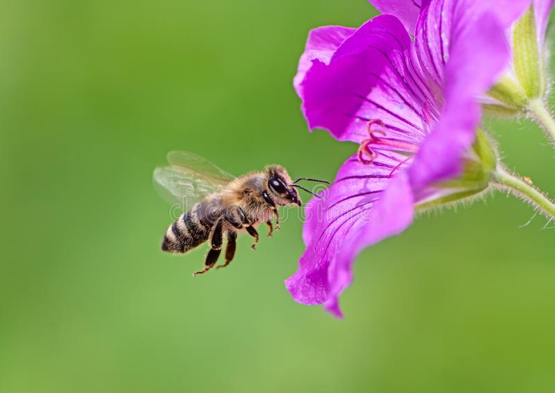 Bee flying to a purple geranium flower blossom. Honeybee flying to a purple geranium flower blossom stock photo