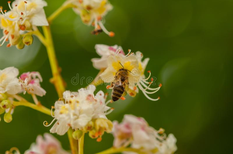 The bee flying toward the flower.aainsect in nature stock photography