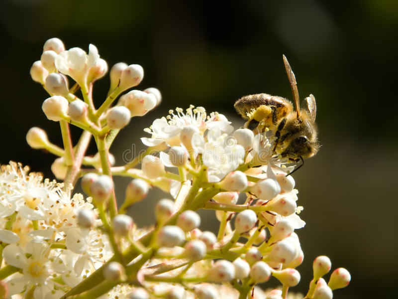 Download Bee Foraging stock photo. Image of nature, work, white - 26805376