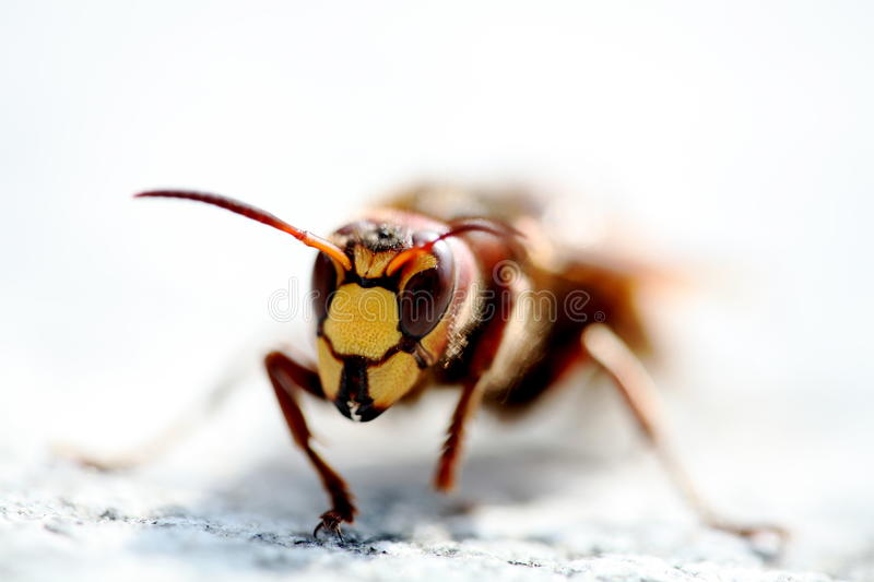 Bee front view royalty free stock photos