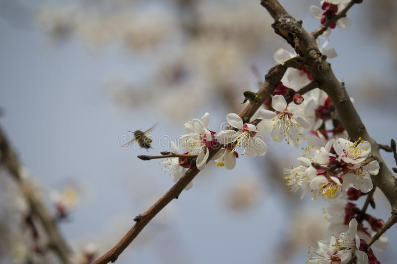 Bee on fruit tree flower with white petals stock images