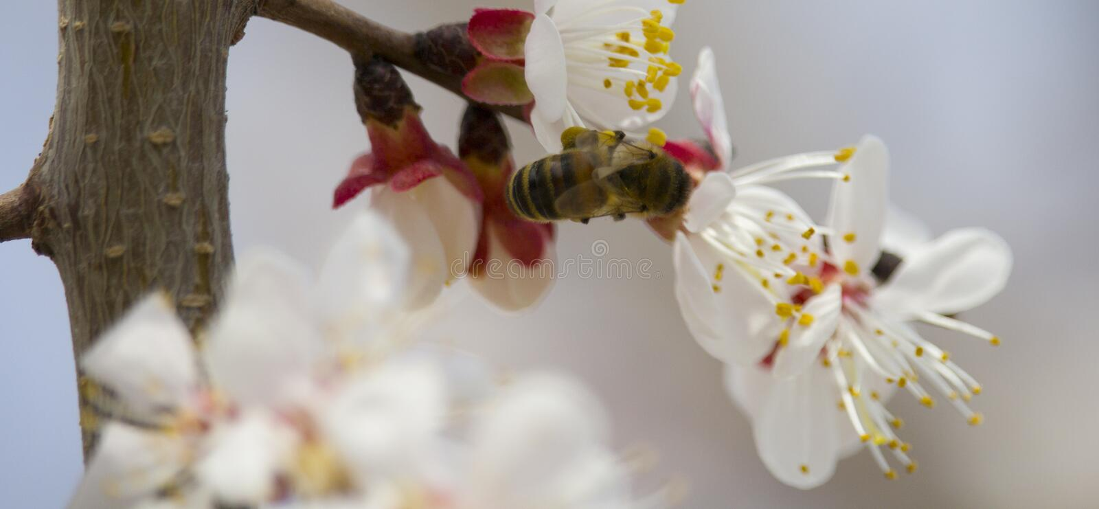 Bee on fruit tree flower with white petals royalty free stock photos